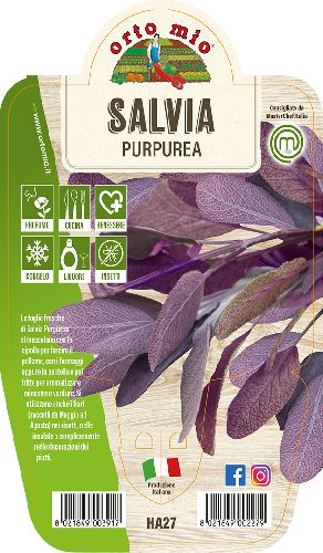 Salvia Purpurea